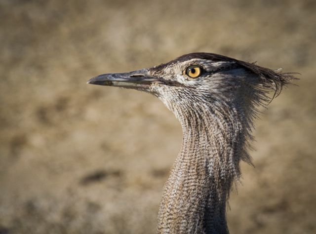 Kori Bustard Fm Forums