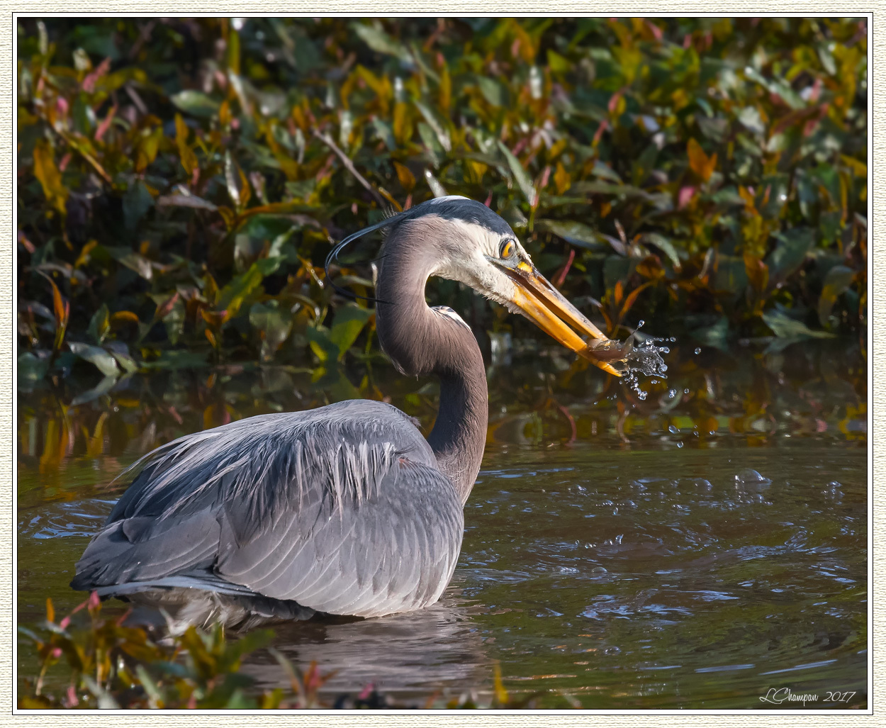 Great blue heron fishing sequence fm forums for Blue heron fishing