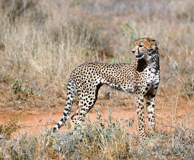 fictional story on cheetahs This reading comprehension includes interesting facts about cheetahs students are asked to read through the passage and answer the accompanying study questions.