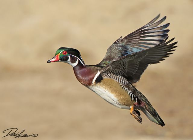 Wood Duck Flying Wood duck in flight - fmWood Ducks Flying