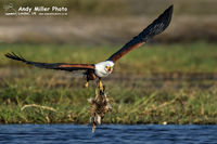 African Fish Eagle dropping breakfast