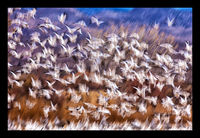 Poetry in Motion (Bosque del Apache)