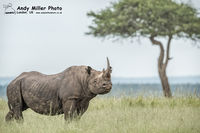 Large male Black Rhino on Lookout Plains
