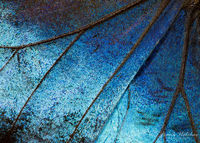 Butterfly Wing 4x magnification