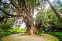 Tree in the azores