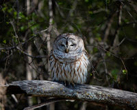 Owl in the park