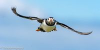 Puffin, England