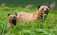 Costal Brown Bears in Khutzeymateen Bear Sanctuary
