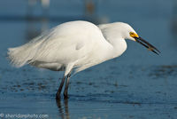 Snowy Egret with Shrimp, Tigertail Bearch Florida