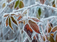 Hoar Frost on Raspberry Leaves, Algonquin