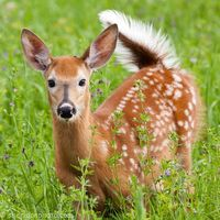 White-tailed Fawn in Flowers, Ottawa Valley