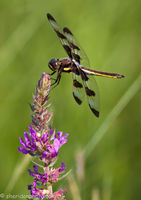 Dragon Fly on Flowers at Sunset, Ottawa River