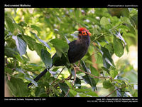 Red-crested Malkoha