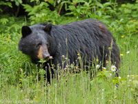 Black Bear Feeding on Wild Flowers, Northern Interior Rain Forest B.C.