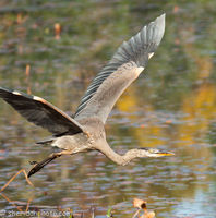 Great Blue Heron Takes Flight, Lake Opeongo ON