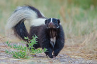 Striped Skunk that just realized he was being watch.  Bosque del Apache.