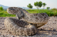 Western Diamond-backed Rattlesnake unhappy about being interupted while crossing a levee road.  Bosque del Apache.