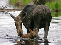 Cow Moose and Calf First Swim, Algonqion P.P.