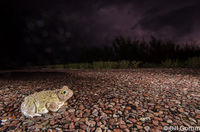 Couch Spadefoot Toad crossing highway during a monsoon storm.  Bosque del Apache.