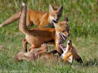 Fox Family Paracticing Huting, Barrie ON
