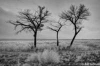 Bare Cottonwoods on a gloomy winter day.  Bosque del Apache.