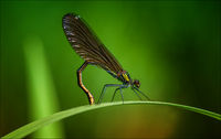 Beautiful Demoiselle ( female )