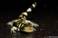 Tiger Salamander doing tail wagging defensive display (posible scorpion mimicry).  New Mexico.
