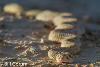 Prairie Rattlesnake crawling at Petroglyph National Monument.