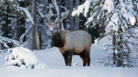 Elk with Snow on Nose
