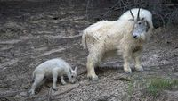 Mountain Goat and Baby