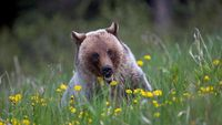 Grizzly with Flower