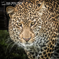 Male Leopard emerging from cover