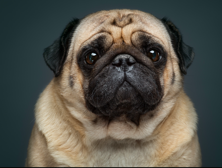 Dog portraits (lighting setup) - FM Forums